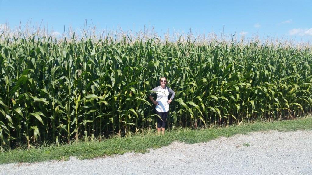 High corn in Pennsylvania's Amish Country