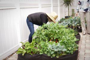 Tending plants in the garden boxes.