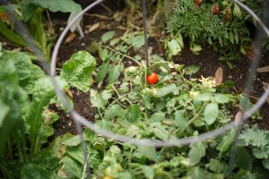 Tomatoes in the DutchCrafters garden.