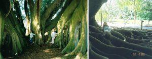 The Banyan Tree at Selby Gardens, Sarasota, Florida