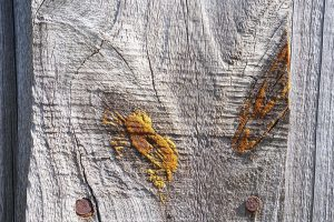 Natural pine resin on a fence