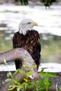 A bald eagle rests on a fallen log