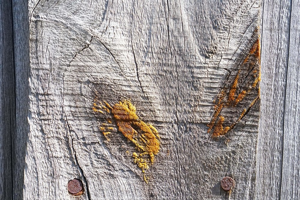 Pine's Natural Resin Seeping Through Old Fence Posts